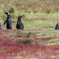 Pingüino de magallanes (Spheniscus magellanicus) en sus madrigueras.