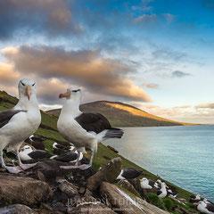 Colonia de albatros de ceja negra (Thalassarche melanophrys).