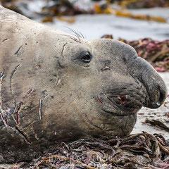 """Detalle de la cabeza de elefante marino y sus """"heridas de guerra""""."""