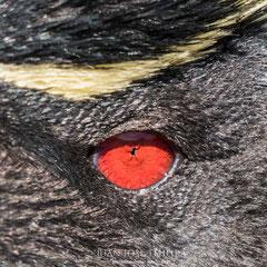 Detalle del extraño ojo de un pingüino de penacho amarillo (Eudyptes chrysocome).