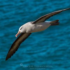 Albatros de ceja negra (Thalassarche melanophrys) volando majestuoso sobre el mar.
