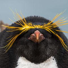 Pingüino macaroni o de penacho anaranjado (Eudyptes chrysolophus).