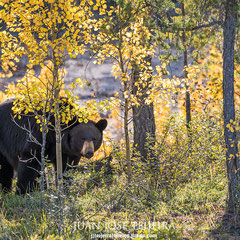 Oso negro (ursus americanus), Wood Buffalo National Park.