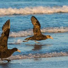 Petreles gigantes antárticos (Macronectes giganteus) despegando en la playa.