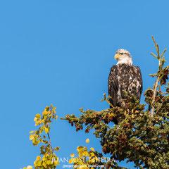 Águila calva joven, (Haliaeetus leucocephalus).