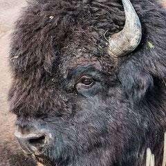 Bisonte americano de bosque (bison bison athabascae). Mackenzie Bison Santuary. Detalle de cabeza.