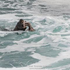 León marino devorando un pulpo.