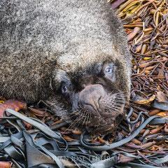 León marino (Otaria flavescens) dormitando sobre el kelp.
