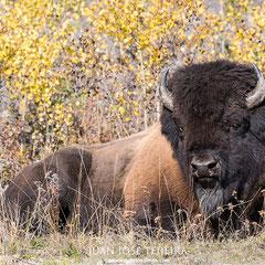 Magnifico ejemplar de bisonte americano de bosque (bison bison athabascae). Mackenzie Bison Santuary.