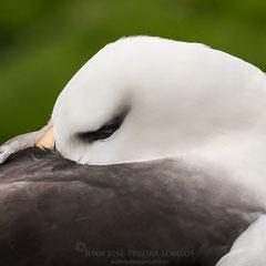Albatros de ceja negra (Thalassarche melanophrys)