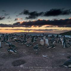 Colonia de pingüino juanito (Pygoscelis papua) al atardecer.