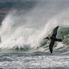 Petreles y albatros son los amos del viento.