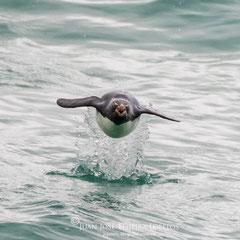 ¿ Quien dijo que los pingüinos no vuelan ?