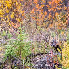 Zorro rojo (vulpes vulpes) en su variedad melánica.