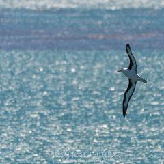 Albatros de ceja negra (Thalassarche melanophrys) sobre un mar de color.