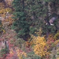 Águila calva, (Haliaeetus leucocephalus).