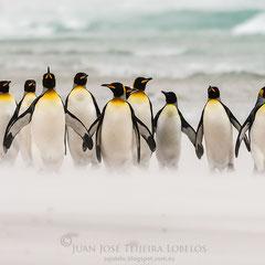 Pingüino rey en la playa, el viento levanta la arena a su paso.