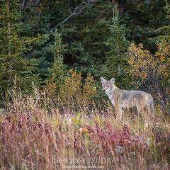 Coyote, (Canis latrans).