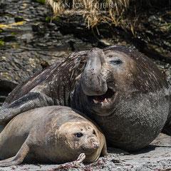 """Elefante marino y """"su"""" hembra, aquí puede observarse el gran dimorfismo sexual de esta especie."""
