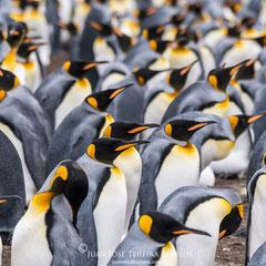 Colonia de Pingüino rey.