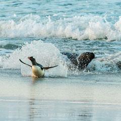 Pingüino juanito perseguido por un león marino a su llegada a la playa.