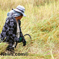 Thailändische Farmerin bei der Reisernte.