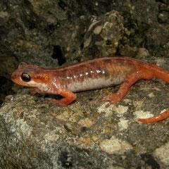 Luschani's landsalamander (Lyciasalamandra luschani basoglui) mannetje
