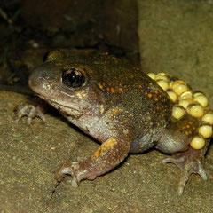 Iberische vroedmeesterpad (Alytes cisternasii) mannetje met eieren