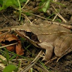 Agile Frog (Rana dalmatina), La Brenne, France, June 2011