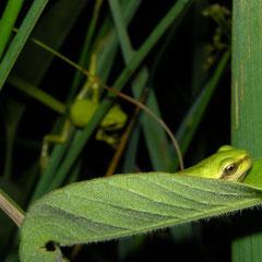 Boomkikker (Hyla arborea) juvenieltjes
