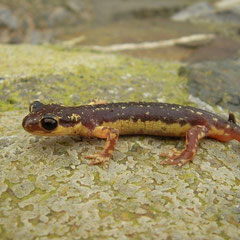Egeïsche landsalamander (Lyciasalamandra helverseni) mannetje