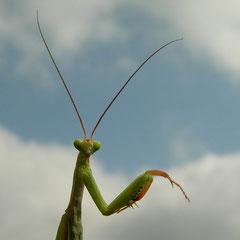 Bidsprinkhaan (Mantis religiosa)
