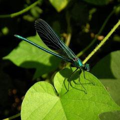 Weidebeekjuffer (Calopteryx splendens cretensis)