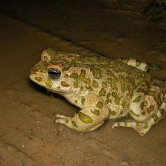 Groene pad (Bufo viridis) mannetje