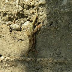 Kreta muurhagedis (Podarcis cretensis)