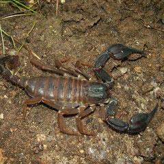 Schorpioen (Iurus dufoureius)