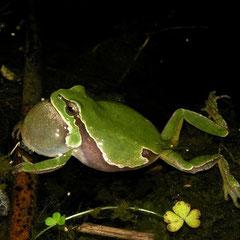 Iberian Tree Frog (Hyla molleri), Galicia, Spain, May 2012