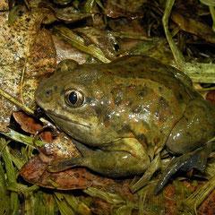 Knoflookpad (Pelobates fuscus) mannetje