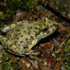 Groengestipte kikker (Pelodytes punctatus)