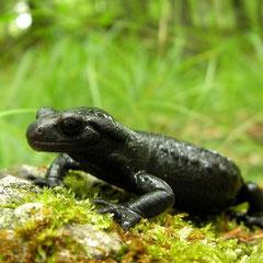 Alpenlandsalamander (Salamandra atra)