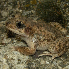 Betic Midwife Toad (Alytes dickhilleni), Murcia, Spain, October 2011