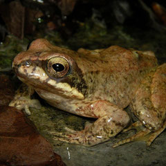 Pyrenean Stream Frog (Rana pyrenaica), Pyrenees, France, May 2012
