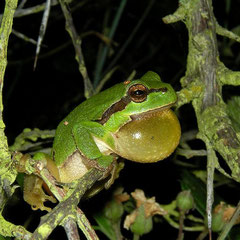 Boomkikker (Hyla arborea) roepend mannetje.