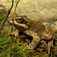 Pyrenean Stream Frog (Rana pyrenaica), Pyrenees, France, August 2010
