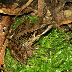 Iberian Stream Frog (Rana iberica), Galicia, Spain, May 2012