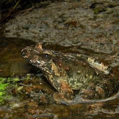 Corsicaanse schijftongkikker (Discoglossus montalentii)