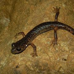 Ambrosi's Cave Salamander (Speleomantes ambrosii), Liguria, Italy, July 2010