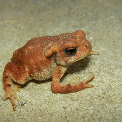 Gewone pad (Bufo bufo spinosus) roodachtig subadult dier.