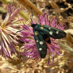 Phegeavlinders (Amata phegea) zijn hier zeer algemeen.
