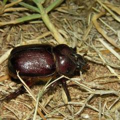 Neushoornkever (Phyllognathus excavatus)